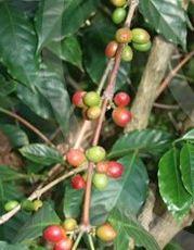 cafeir de Chamarel